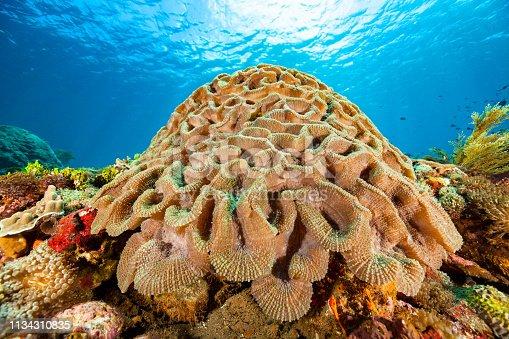 istock Beautiful Lobed Brain Coral Lobophyllia sp., Pantar Strait, Indonesia 1134310835