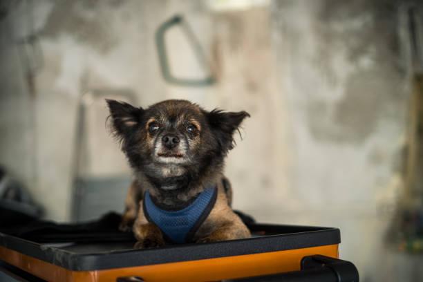 beautiful long haired chihuahua dog stock photo