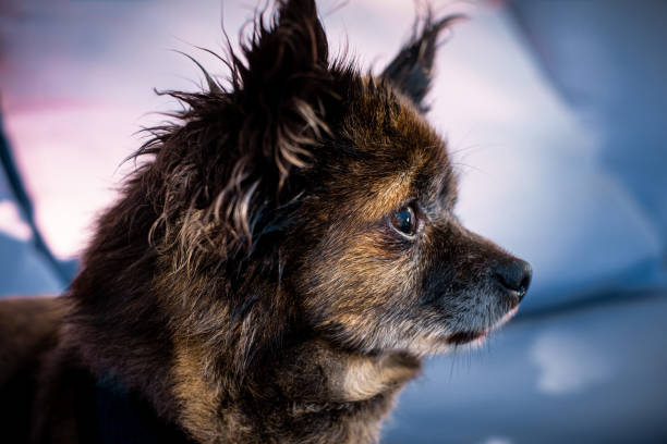 beautiful long haired chihuahua dog, portrait stock photo