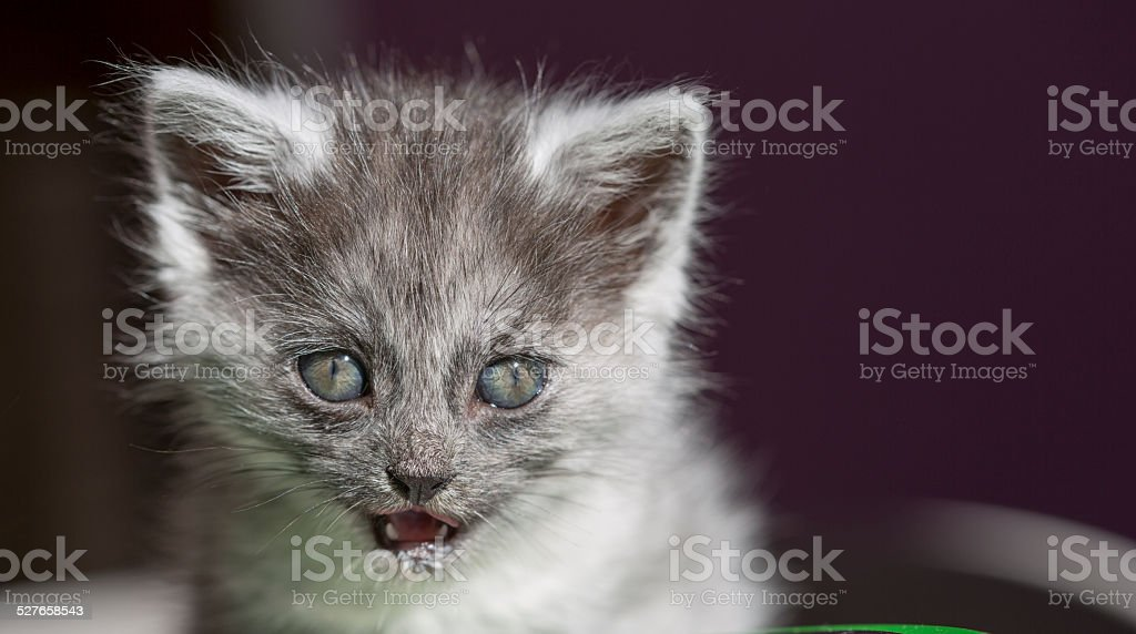 Beautiful longhair cat with blue eyes stock photo