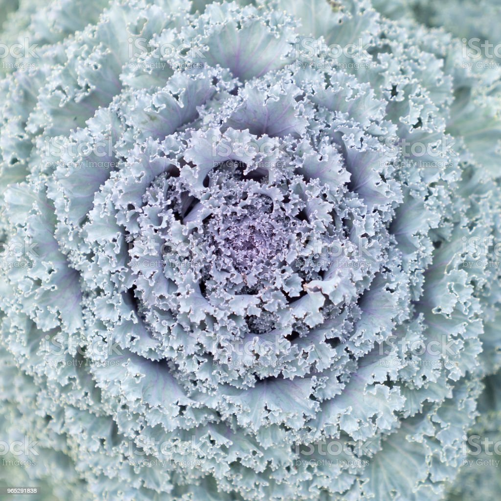 Beautiful longlived cabbage flower in garden background. zbiór zdjęć royalty-free