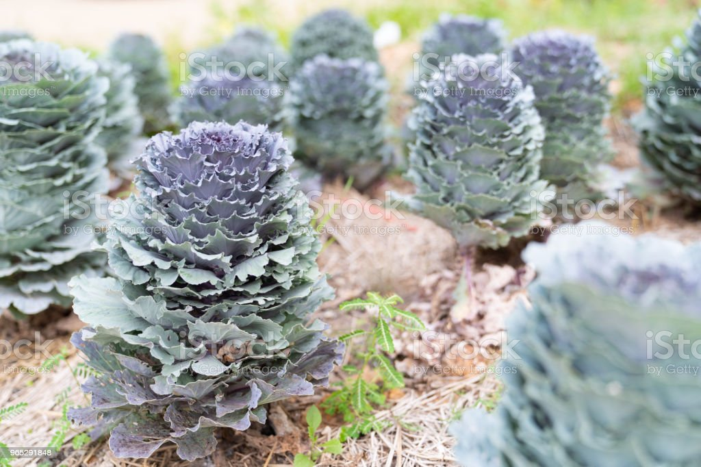 Beautiful longlived cabbage flower in garden background. royalty-free stock photo