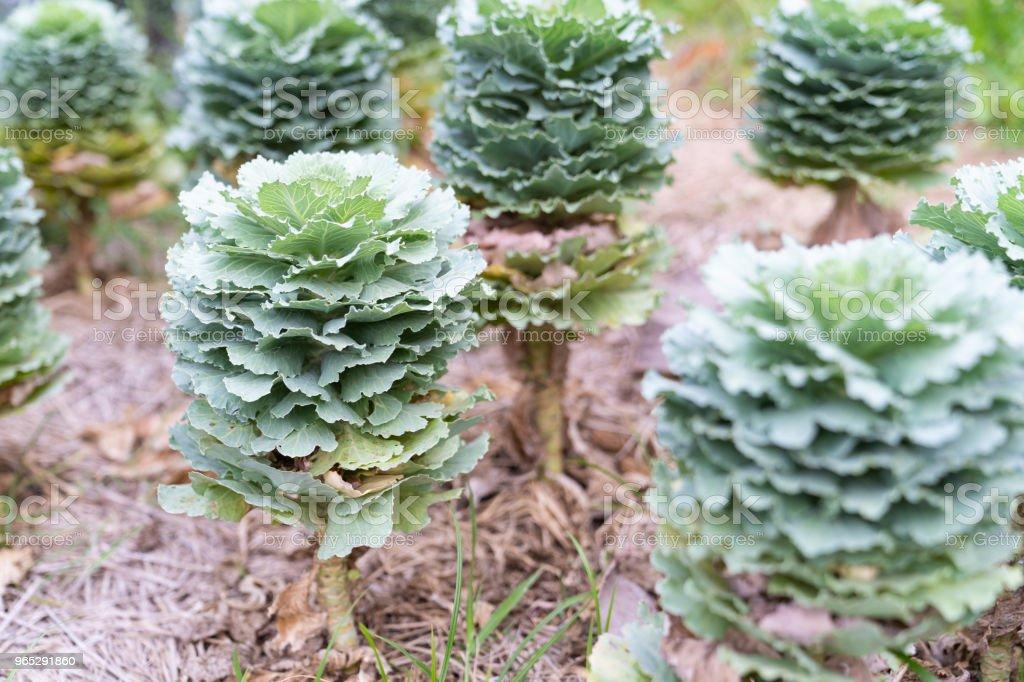 Beautiful longlived cabbage flower in garden background. zbiór zdjęć royalty-free