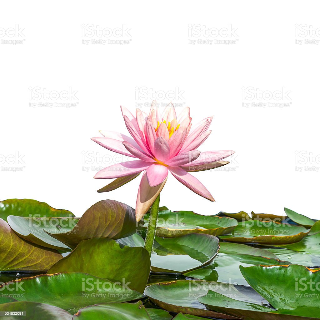 beautiful lotus flower in blooming on white background stock photo