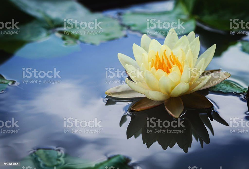 beautiful lotus flower is complimented by the rich colors stock photo