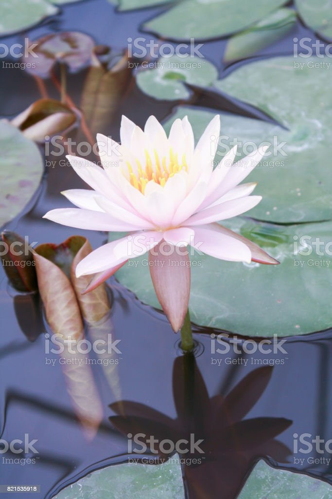Beautiful lotus flower is the symbol of the buddha thailand close up beautiful lotus flower is the symbol of the buddha thailand close up lotus in mightylinksfo