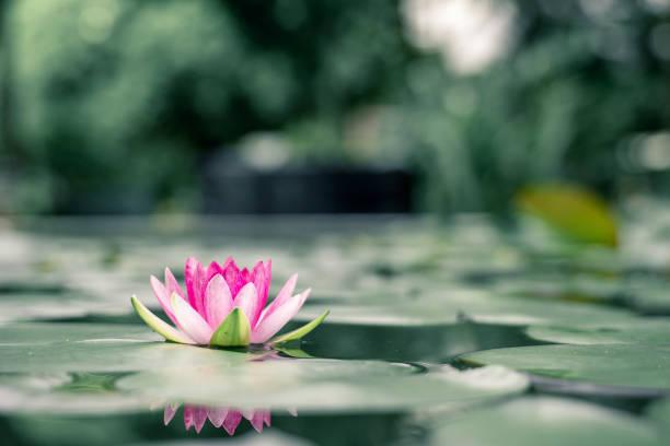 flor de lótus bonita na água depois da chuva no jardim. - lotus - fotografias e filmes do acervo