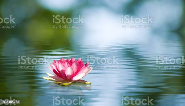 Photo of Beautiful lotus flower on the water in a park close-up.