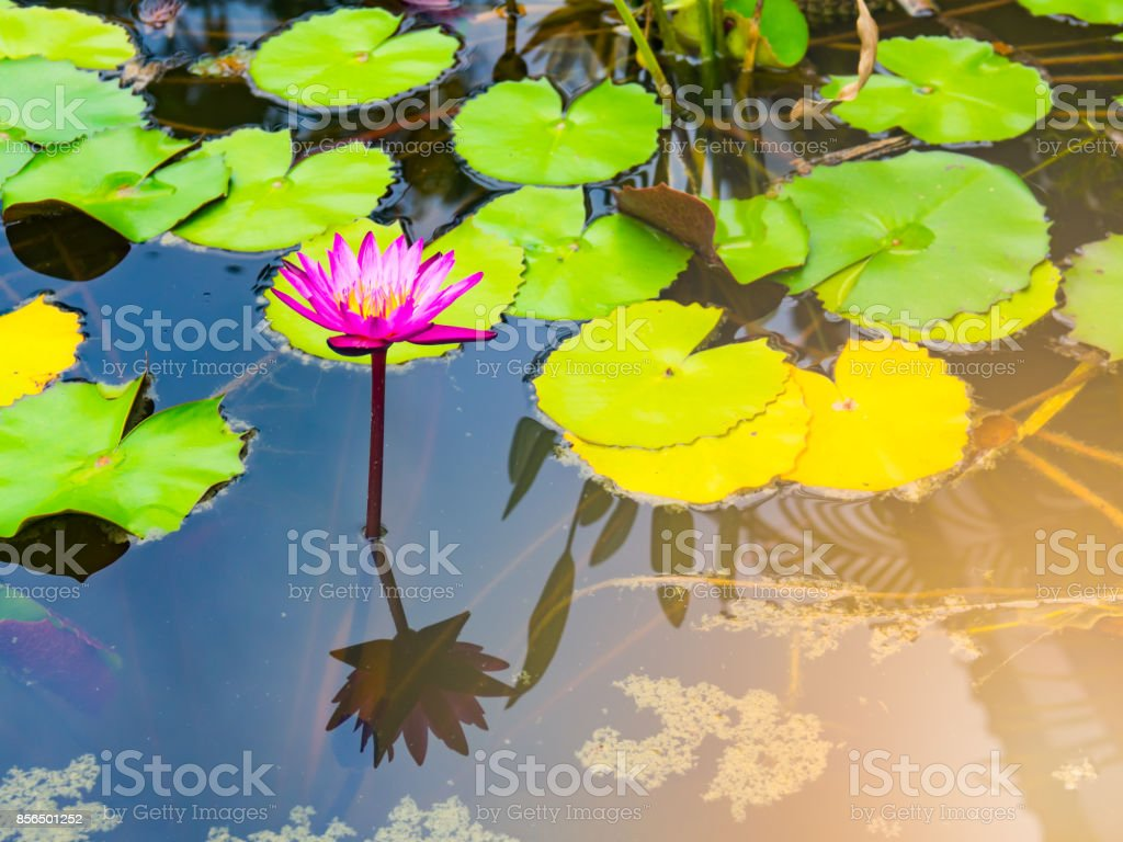 Beautiful Lotus Flower Or Water Lily In Pond Stock Photo More