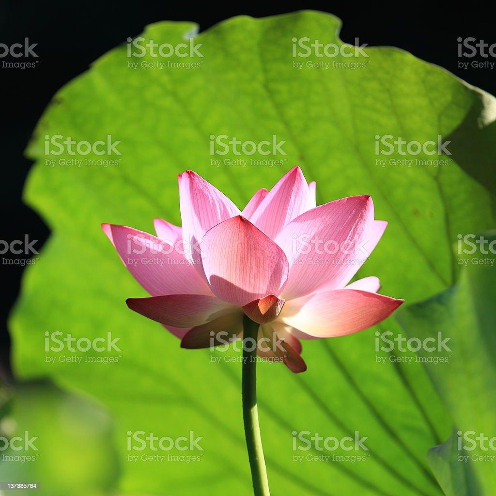 Beautiful lotus flower royalty-free stock photo