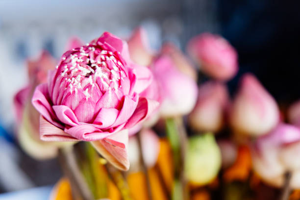 Beautiful lotus flowers in a bucket for Buddhist religious ceremony stock photo