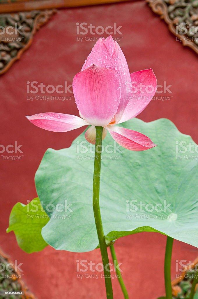 Beautiful Lotus Forbidden City Beijing royalty-free stock photo