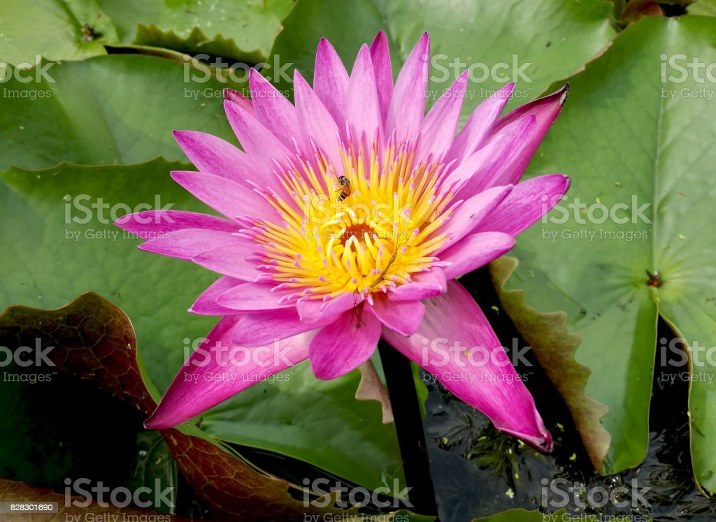 Top view closeup of beautiful pink lotus or waterlily with yellow...