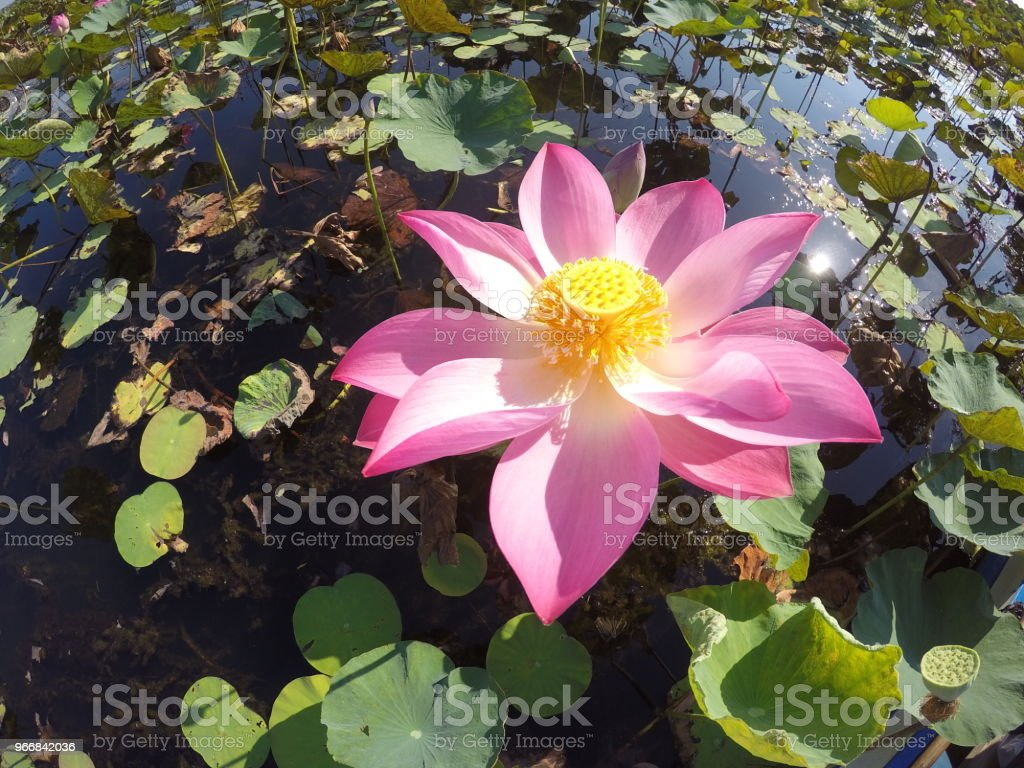 Beautiful Lotus Leaf And Lotus Flowers Blossom Stock Photo More