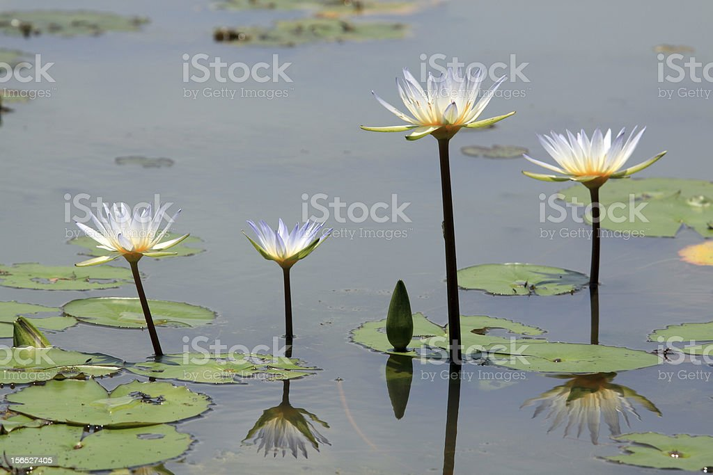 Beautiful Lotus (Water Lily) royalty-free stock photo