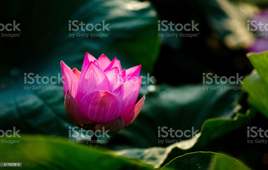 beautiful lotus pink  flower in blooming lighting stock photo