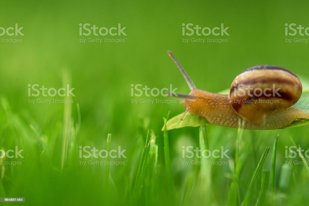 Beautiful lovely snail in grass with morning dew. royalty-free stock photo