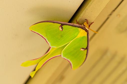 istock A beautiful Luna Moth, Actias luna. 1213795776