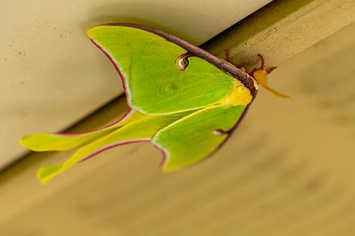 istock A beautiful Luna Moth, Actias luna. 1213795784