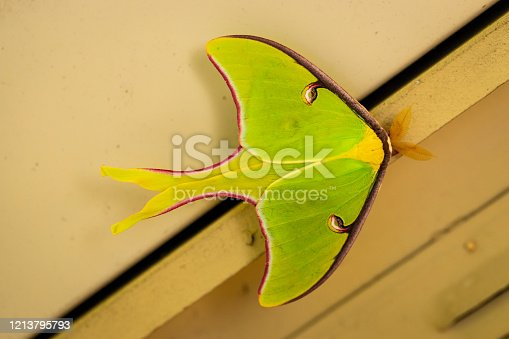 A beautiful Luna Moth, Actias luna, with pink margins, in the spring.