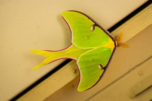 istock A beautiful Luna Moth, Actias luna. 1213795793