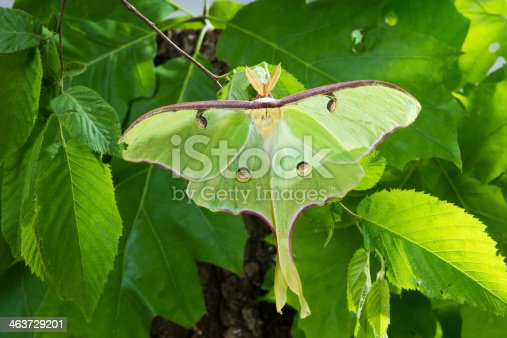 istock Beautiful Luna Moth (Actias luna) on  background of foliage 463729201