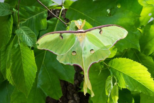 istock Beautiful Luna Moth (Actias luna) on  background of foliage 463729201