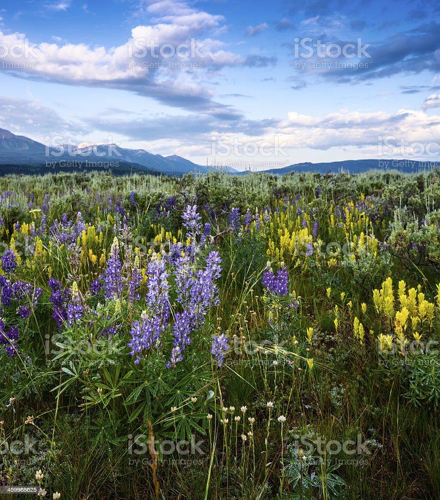 Hermoso lupine bloom en Idaho - foto de stock