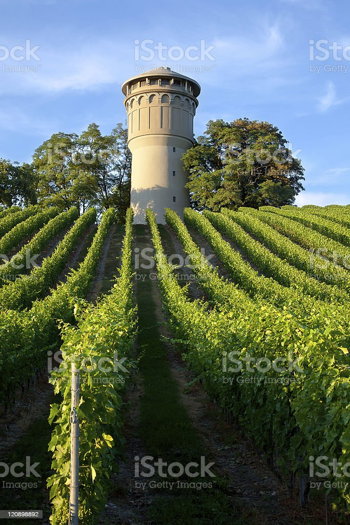 Beautiful lush, green vineyard royalty-free stock photo