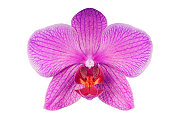 Purple orchid isolated on white background. Studio shot.
