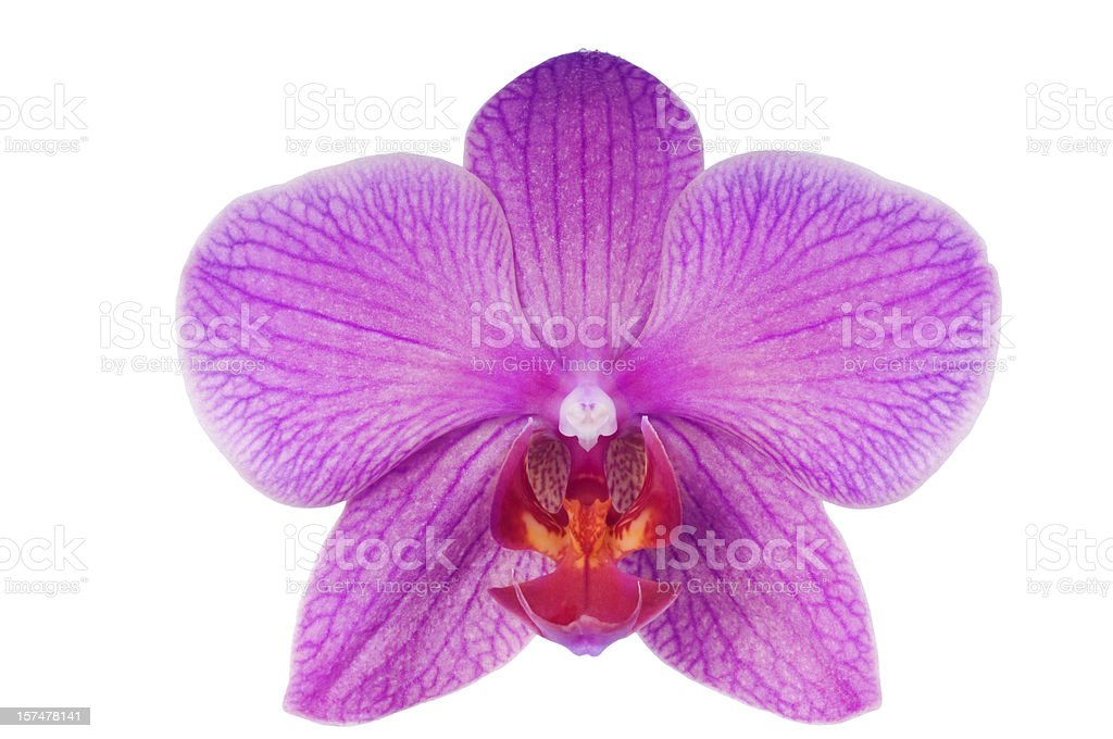 Beautiful luxury purple orchid on white background. stock photo