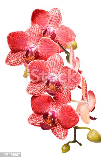 Bunch of fresh Red orchid flowers isolated on white background. Studio shot.