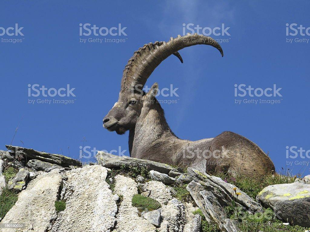Beautiful lying alpine ibex stock photo