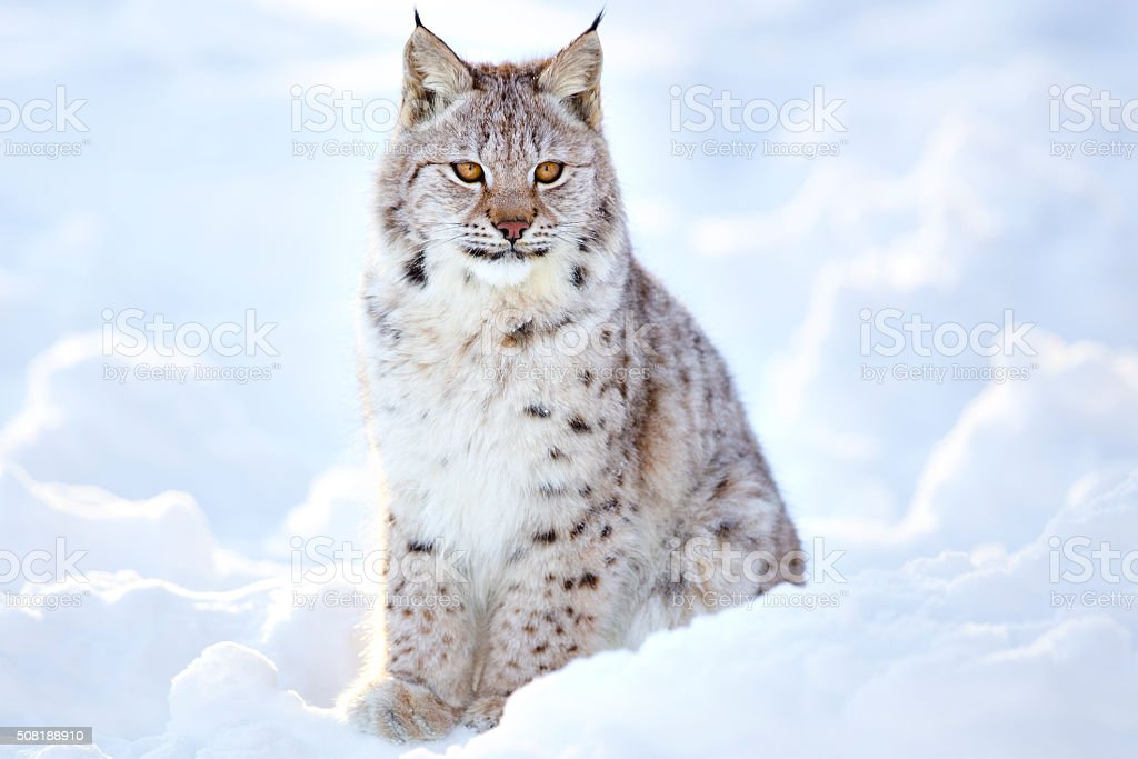 Beautiful lynx cub sits in the cold snow stock photo