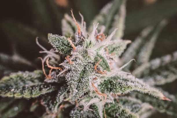 Beautiful Macro photograph of an untrimmed medical marijuana Green background of leaves. In door grow hemp. Medicinal indica with CBD. - foto stock