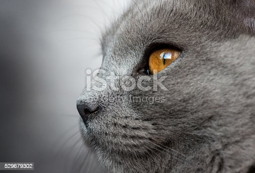 Five months old kitten Chartreux side view, macro lens