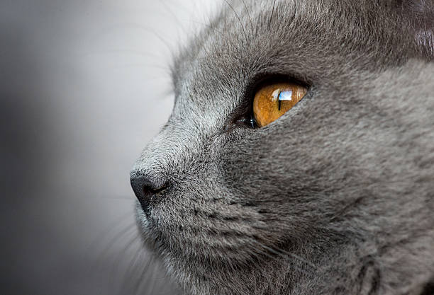 Beautiful macro shot of five months old chartreux cat picture id529679302?b=1&k=6&m=529679302&s=612x612&w=0&h=ivnzo1os ynwyupvldbpk8u6i 8qgzvtxxz6d3gnamg=