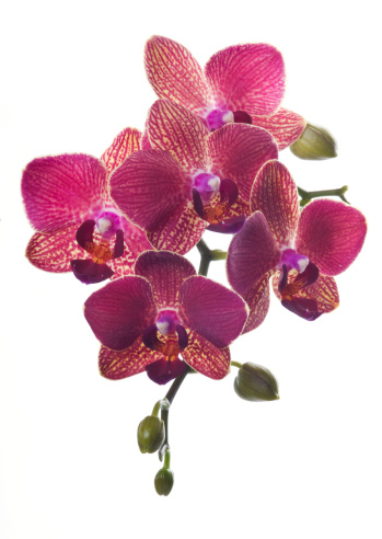 Bunch of luxury Magenta orchid flowers isolated on white background.
