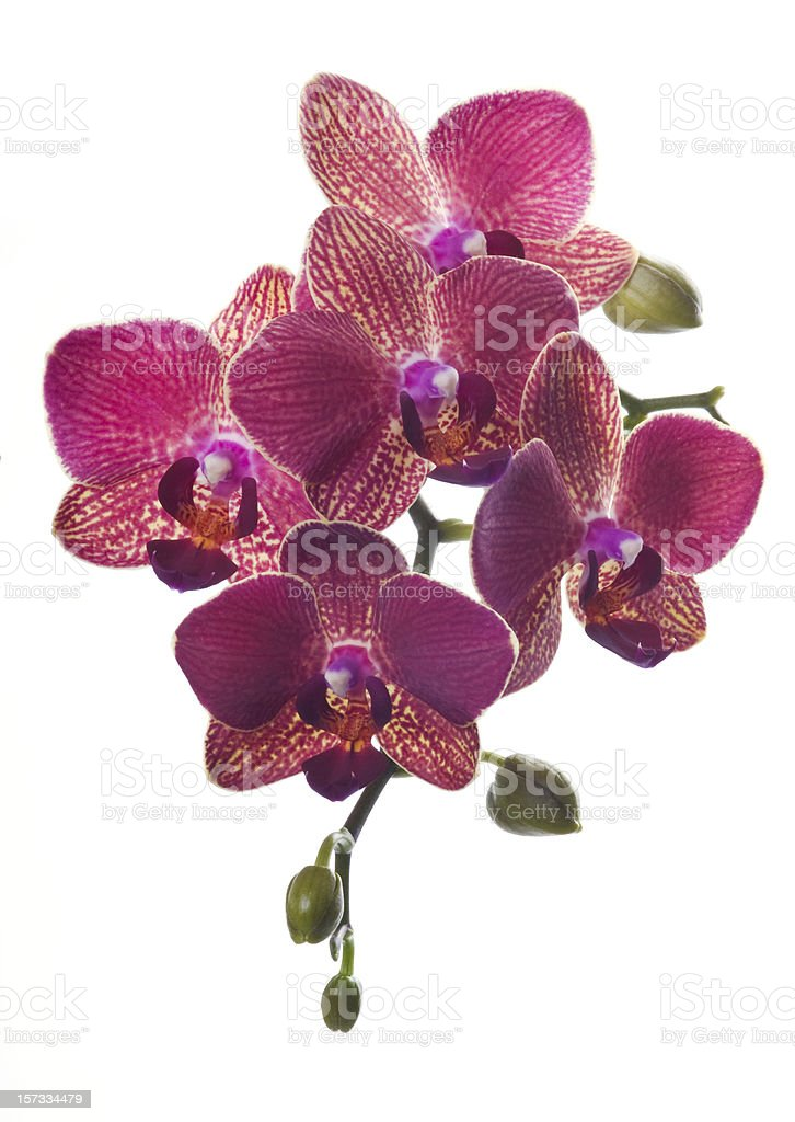 Beautiful magenta orchid on white stock photo