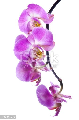Bunch of fresh magenta orchid flowers on stem isolated on white background. Studio shot.