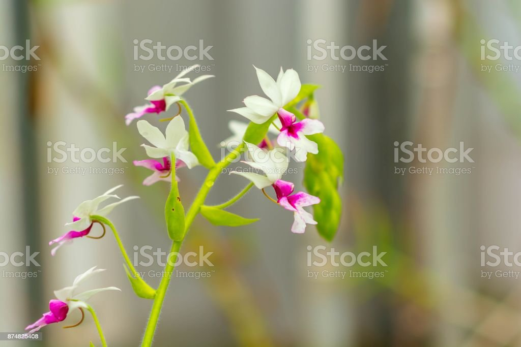 Beautiful magenta-white orchid flowers cluster stock photo