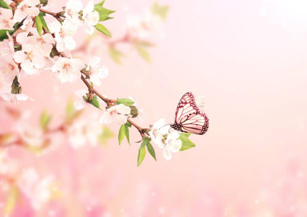 Beautiful magic spring scene with cherry flowers and butterfly picture id1199955018?b=1&k=6&m=1199955018&s=612x612&w=0&h=ssnqg609o9pxbcdbuhmtzo2l4jthy9ewshmdqow44yg=