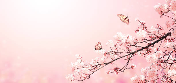 Beautiful magic spring scene with sakura flowers picture id1202557390?b=1&k=6&m=1202557390&s=612x612&w=0&h=x6cbqwns2s5inodlr0f3cw77unqwhs1mbi6s1dj9h8m=