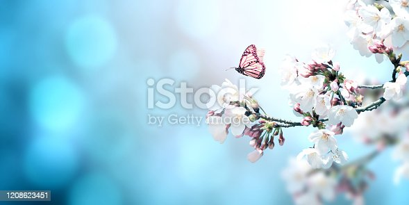 Magical scene with sakura flowers and butterfly. Beautiful nature spring background. Photo toned in light blue color. Copy space for text