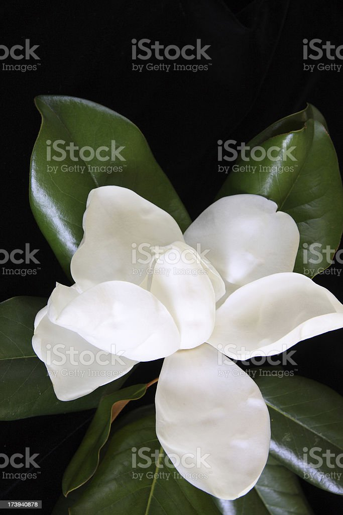 Beautiful Magnolia Bloom royalty-free stock photo