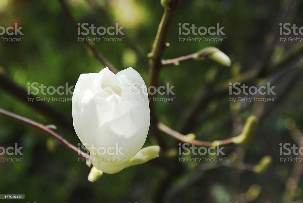 Beautiful magnolia bud royalty-free stock photo