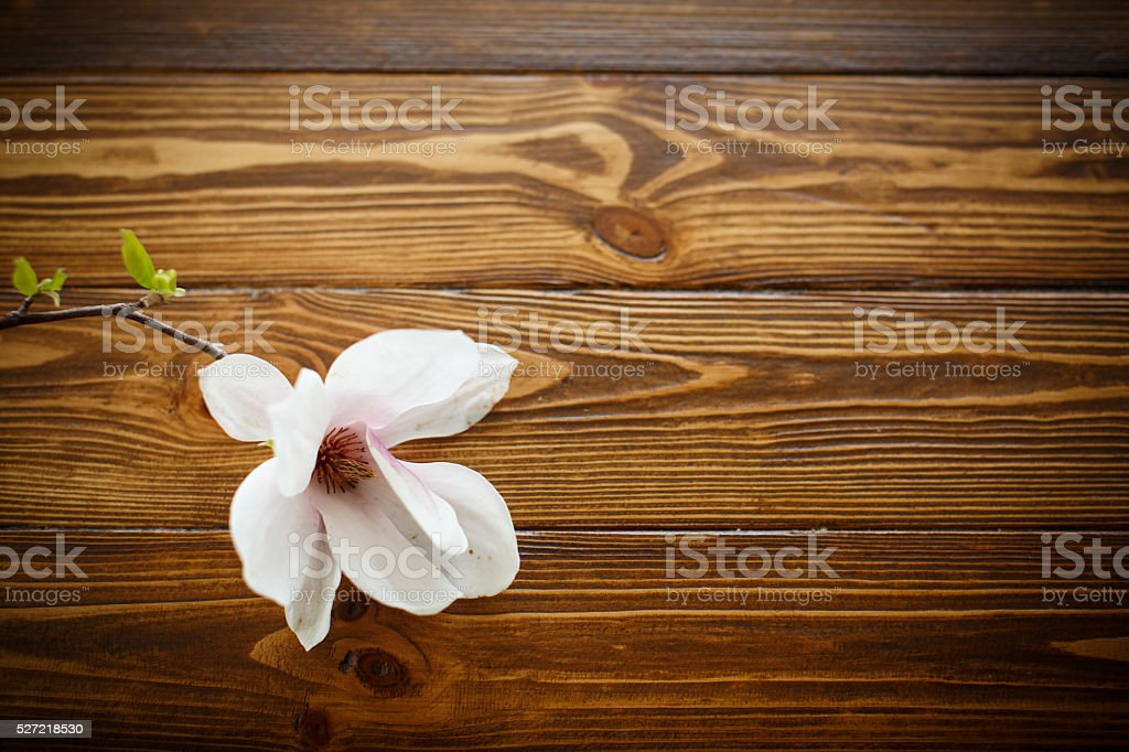 beautiful magnolia flower stock photo