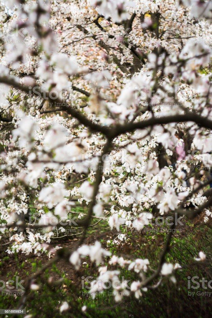Beautiful Magnolia Flowers In Morning Sun Flowers Of Magnolia Tree