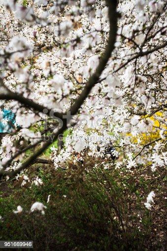 Istock Abloom Flower Of Magnolia Tree In Spring 472494568 Istock
