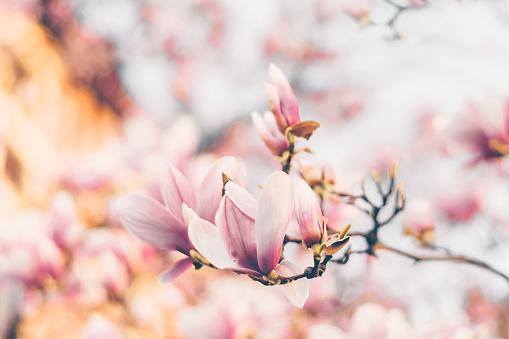 Beautiful magnolia flowers in morning sun. Spring garden